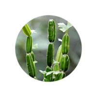 Cissus-quadrangularis_hadjod