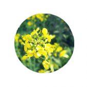 Yellow sarson